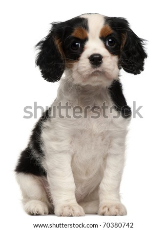 Cavalier King Charles Puppy, 2 months old, sitting in front of white background - stock photo