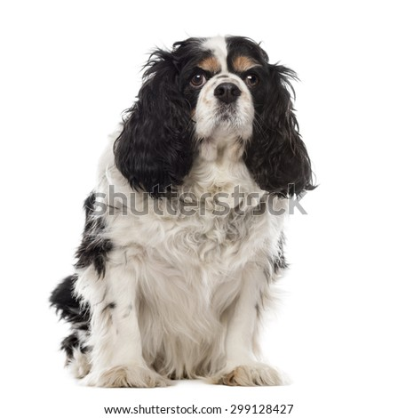 Cavalier King Charles sitting in front of a white background