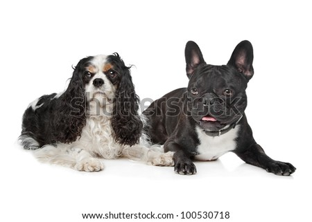 Cavalier King Charles Spaniel and a French Bulldog