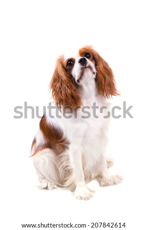 Cavalier King Charles Spaniel, Blenheim Color Variation, Looking Up, Right Side - stock photo