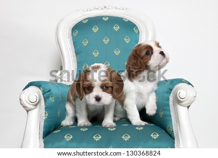 Cavalier King Charles Spaniel, cavalier King charles puppies on armchair - stock photo