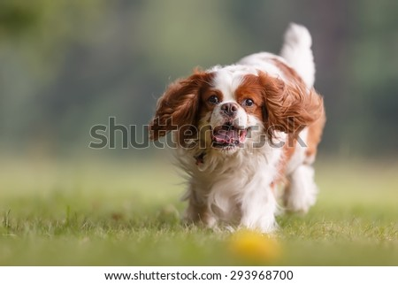 Cavalier king charles spaniel close up