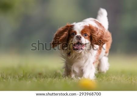 Cavalier king charles spaniel close up - stock photo