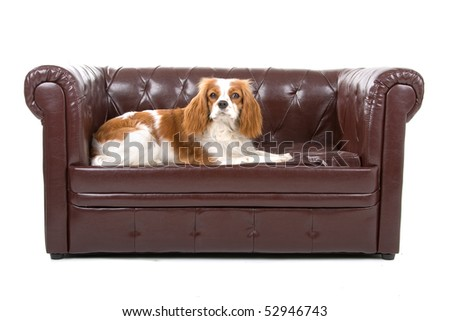 cavalier king charles spaniel dog in front of a white background