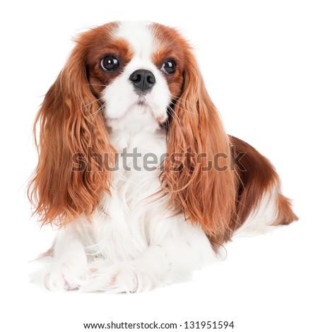 cavalier king charles spaniel dog portrait - stock photo