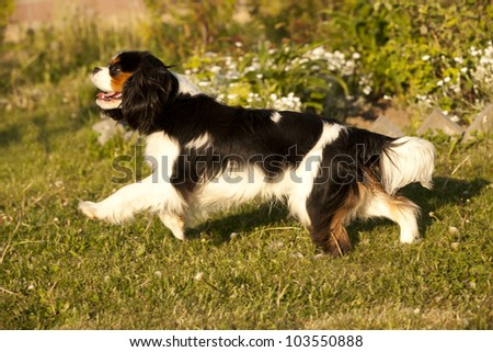 Cavalier King Charles spaniel , dog running through a meadow - stock photo