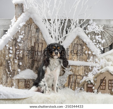 Cavalier King Charles Spaniel in front of a Christmas scenery