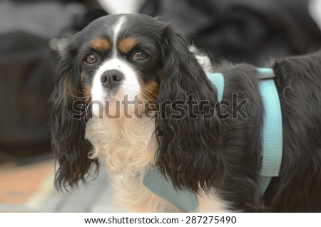 Cavalier King Charles Spaniel in harness looks into the camera - stock photo