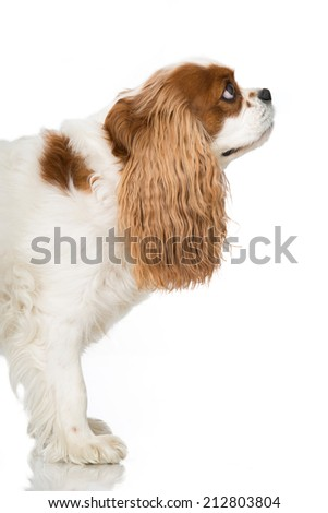 Cavalier King Charles Spaniel isolated on white - stock photo