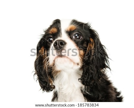 Cavalier King Charles Spaniel isolated on white background  - stock photo