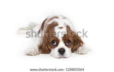 Cavalier King Charles Spaniel laying down in studioCavalier King Charles Spaniel - stock photo