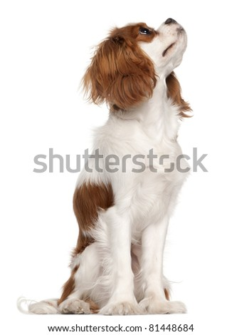 Cavalier King Charles Spaniel, 9 months old, sitting in front of white background - stock photo