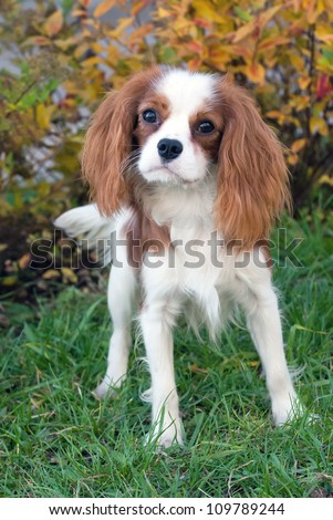 Cavalier King Charles Spaniel, 8 months old, standing in front of bush