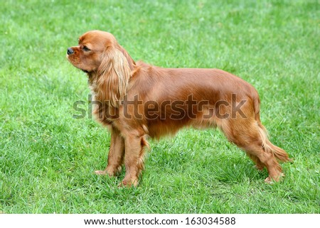 Cavalier King Charles Spaniel on a spring garden - stock photo