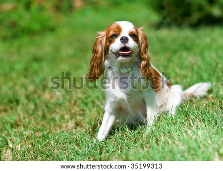 cavalier king charles spaniel on the grass - stock photo