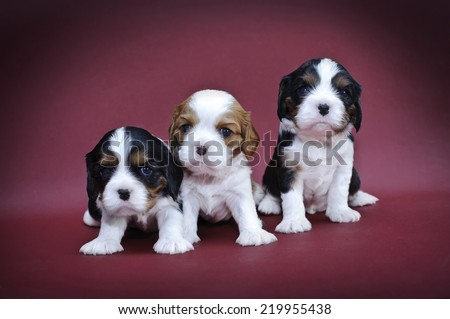 Cavalier king charles spaniel puppies on red background - stock photo