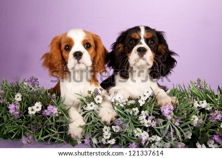 Cavalier King Charles Spaniel puppies with lavender flowers on lilac purple background - stock photo