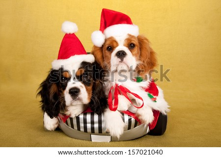 Cavalier King Charles Spaniel puppies with Santa hats in toy car on yellow gold background - stock photo