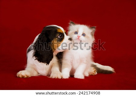 Cavalier King Charles Spaniel puppy and Ragdoll kitten sitting on deep red burgundy background