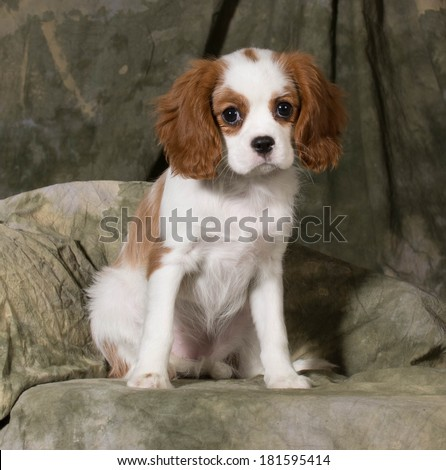cavalier king charles spaniel puppy - blenheim 3 months old - stock photo