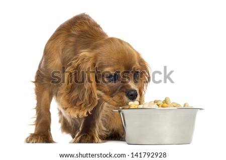 Cavalier King Charles Spaniel puppy eating from a bowl, 5 months old, isolated on white - stock photo