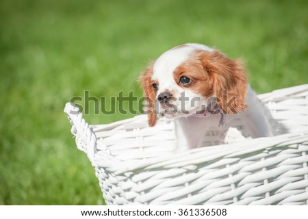 Cavalier King Charles Spaniel puppy in a basket - stock photo