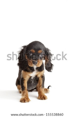 Cavalier King Charles Spaniel puppy in front of a white background