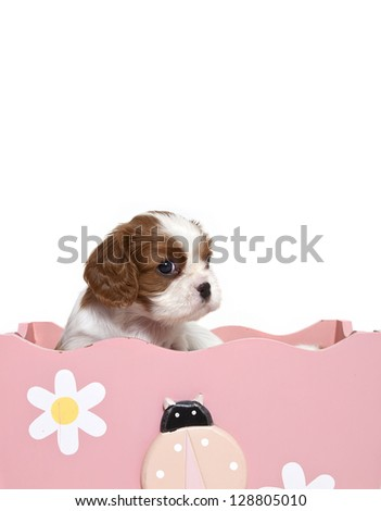 Cavalier King Charles Spaniel puppy in wooden box,Cavalier King Charles Spaniel puppy - stock photo