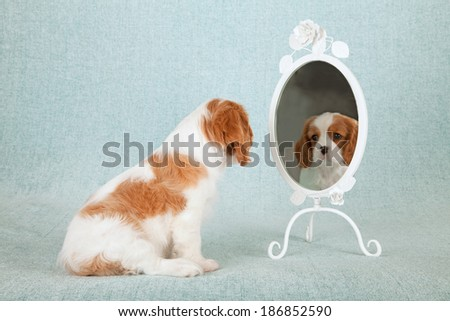 Cavalier King Charles Spaniel puppy looking at itself in ornate white mirror on blue green background
