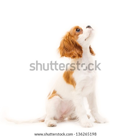 Cavalier King Charles Spaniel, puppy looking up in front of white background - stock photo