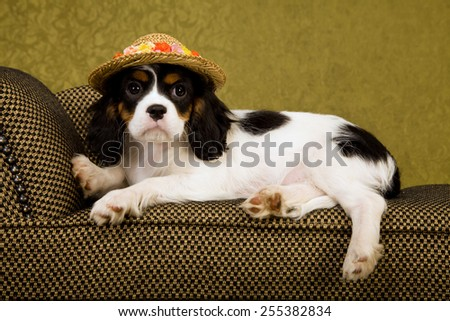 Cavalier King Charles Spaniel puppy lying down on chaise couch sofa wearing straw floral hat on green background  - stock photo