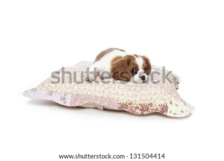 cavalier king charles spaniel puppy resting on pillow, cavalier spaniel puppy on pillow - stock photo