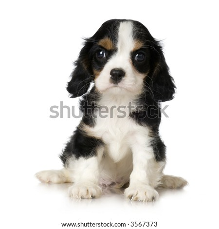 Cavalier King Charles Spaniel puppy sitting in front of a white background - stock photo