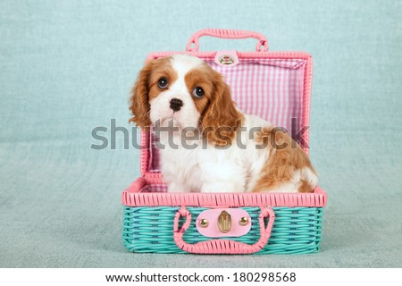 Cavalier King Charles Spaniel puppy sitting inside pink and green wicker basket on light green background - stock photo