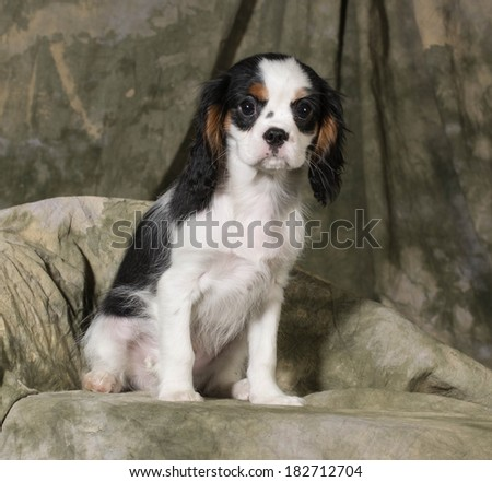 cavalier king charles spaniel puppy - tri-color 3 months old - stock photo