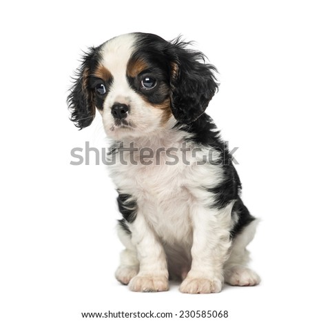Cavalier King Charles Spaniel puppy (8 weeks old) - stock photo