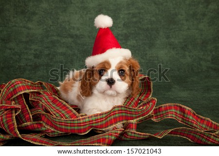 Cavalier King Charles Spaniel puppy with Santa hat and festive ribbon on green background
