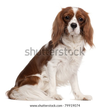 Cavalier King Charles Spaniel, 1 year old, sitting in front of white background - stock photo