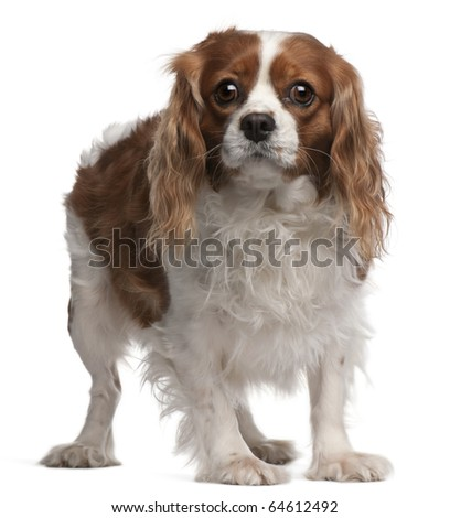 Cavalier King Charles Spaniel, 3 years old, standing in front of white background - stock photo