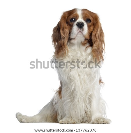 Cavalier King Charles, 2 years old, sitting, isolated on white