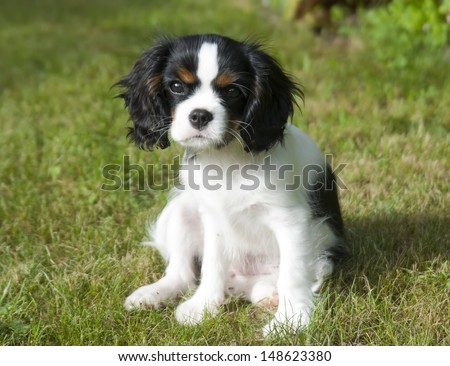 cavalier kings charles spaniel puppy sitting on the grass