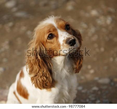 Cavalier puppy - stock photo