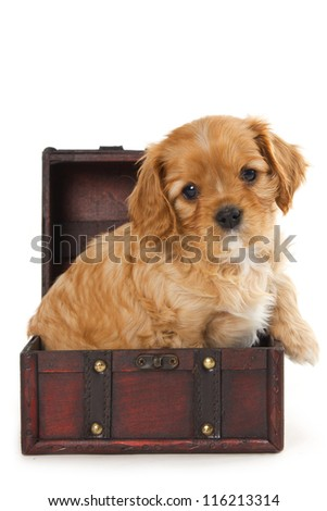 Cavalier puppy in old suitcase