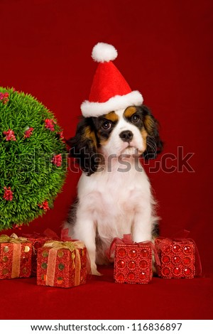 Cavalier puppy with Santa hat and Christmas topiary and gifts