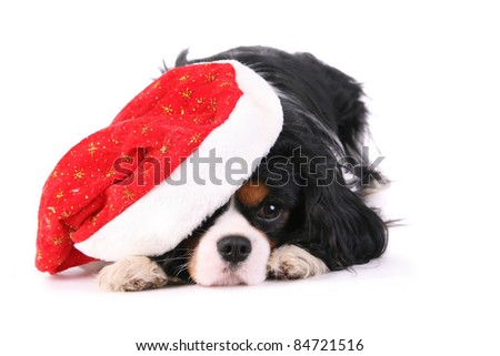 Cavalier with christmas hat