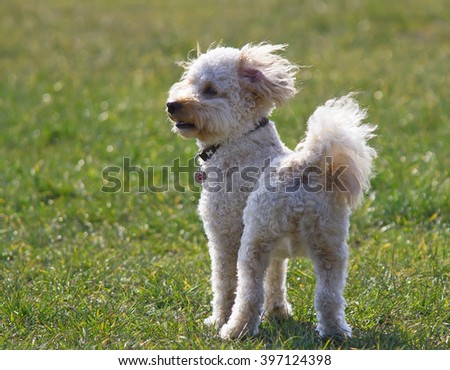 Cavapoo puppy staring. - stock photo