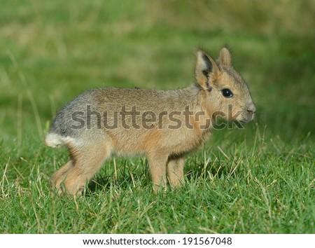 Cavy Mara (Baby) - stock photo