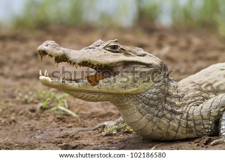 Cayman (Caiman crocodilus fuscus) with butterfly feeding in its mouth, Cano Negro reserve, Alajuela, Costa Rica - stock photo