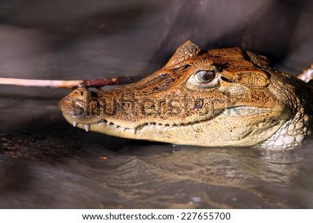Cayman in Costa Rica. The head of a crocodile (alligator) closeup. - stock photo