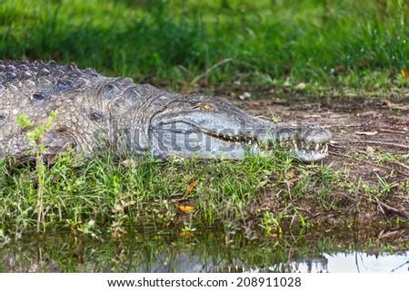 Cayman resting after dinner in the El Cedral - Los Llanos, Venezuela - stock photo